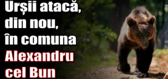 Urșii atacă, din nou, în comuna Alexandru cel Bun