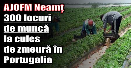 AJOFM Neamț – 300 locuri de muncă la cules de zmeură în Portugalia