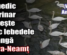 Lebedele de lângă Piatra-Neamţ nu au mai migrat. Un medic veterinar le hrăneşte zilnic